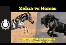 kone, zebry, domestikácia