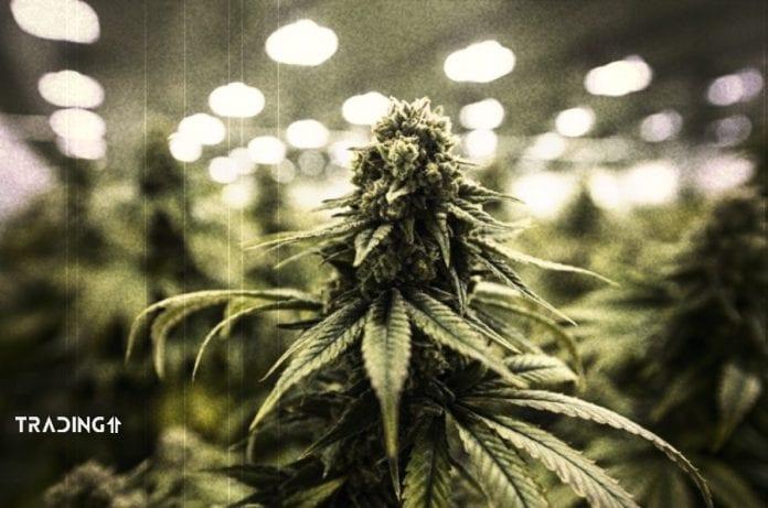 canopy marihuana akcie trading11